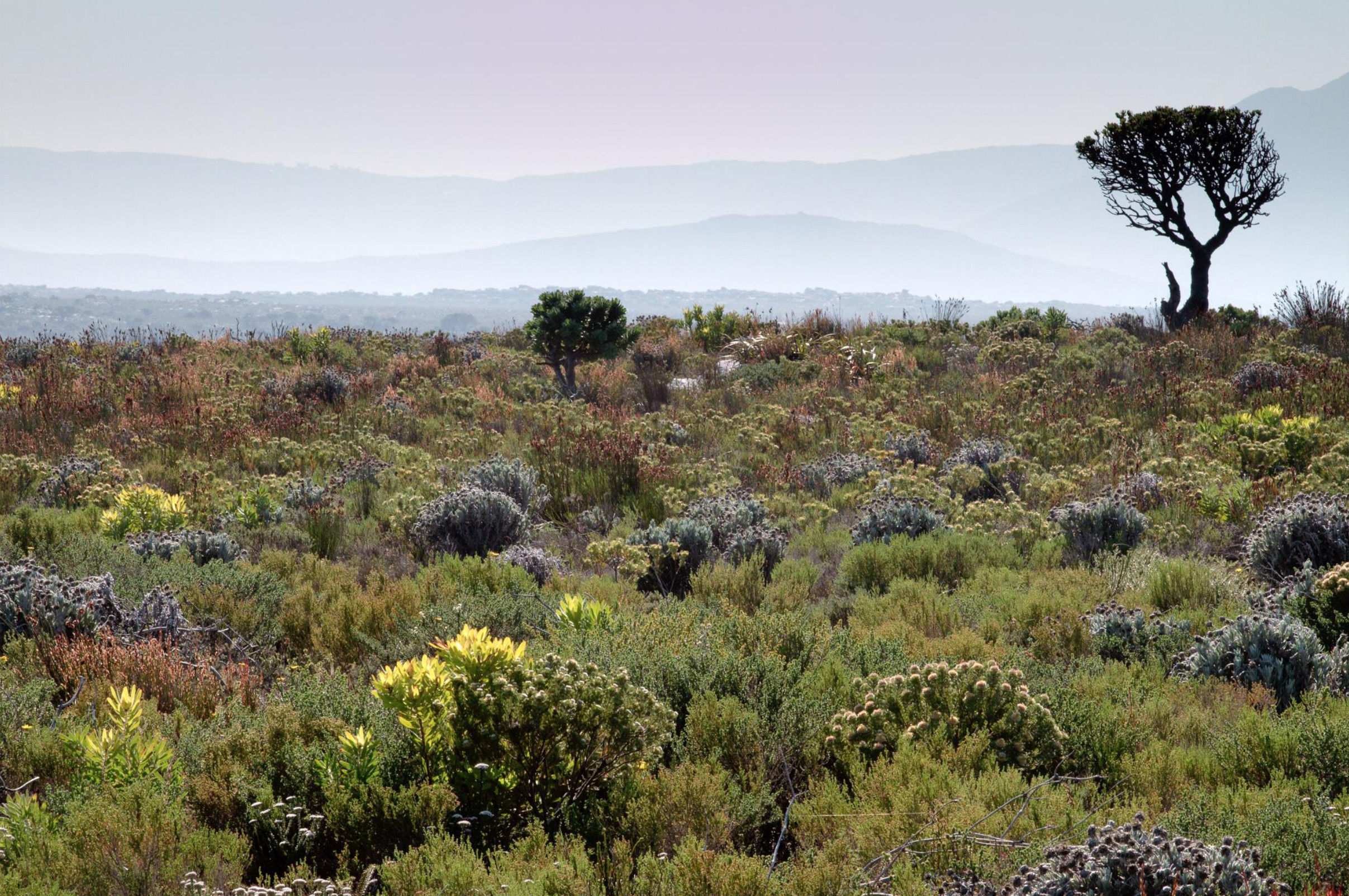 Fynbos is home to an incredible diversity of plants. Almost 9000 species occur in the region, with 6000 found nowhere else on earth. At present, nearly 2000 of these species are threatened with extinction. Photo: Adam Wilson